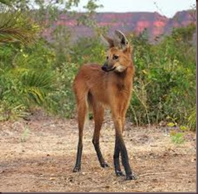 Amazing Animal Pictures The Maned Wolf (5)