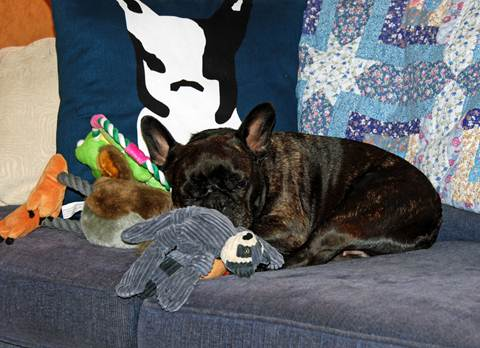 And here I am enjoying a restful nap with some great new toys.  I particularly love this stuffed raccoon and hope that I'm able to bring it back to Bedford.