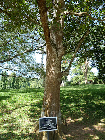 Pomul plantat de Manea Manescu in Sri Lanka