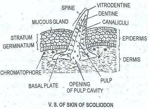 shark-skin-scoliodon