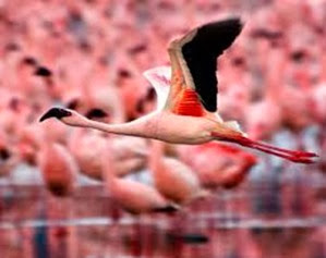 Amazing Pictures of Animals, Photo, Nature, Incredibel, Funny, Zoo, Flamingos or Flamingoes, Phoenicopteridae,  Aves, Bird, Alex (4)
