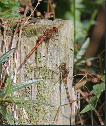 31-common-darters