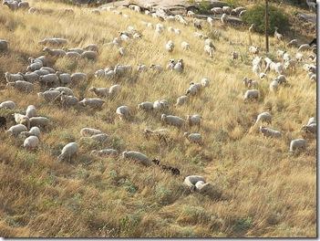 Ovelhas sem pastor