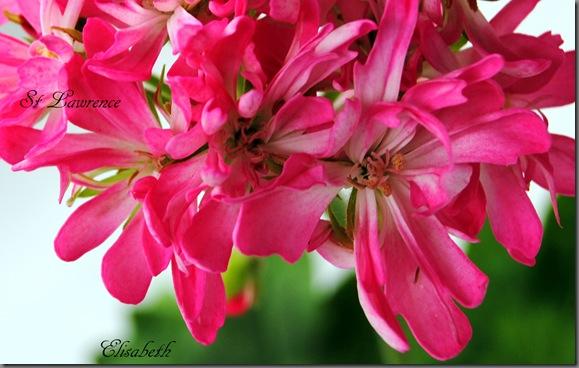 Pelargonium juni-11 003