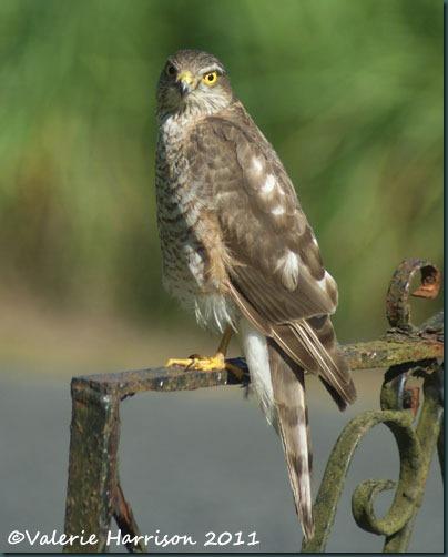 1 sparrowhawk-3