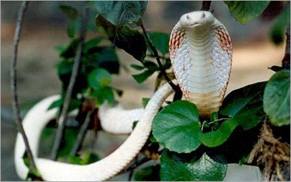 Half albino cobra