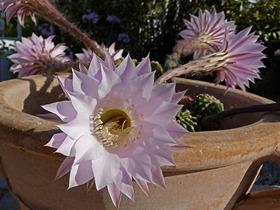 kaktus_blüte_03