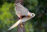A Kestrel In Mid-Flight - Adelaide, Australia