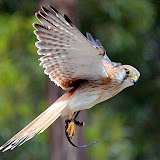 A Kestrel In Mid-Flight - Adelaide, Australia