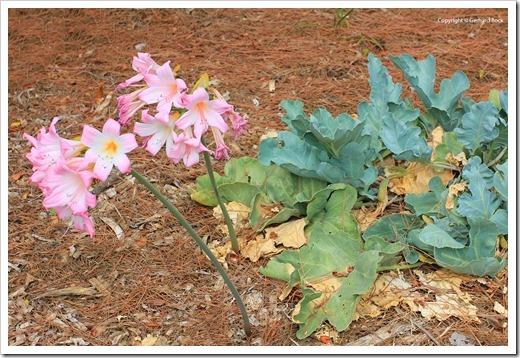 130902_UCD_Aboretrum_StorerGarden_Cramba-maritimia- -Amaryllis-belladonna_12