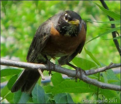 robin adult0522 (8)