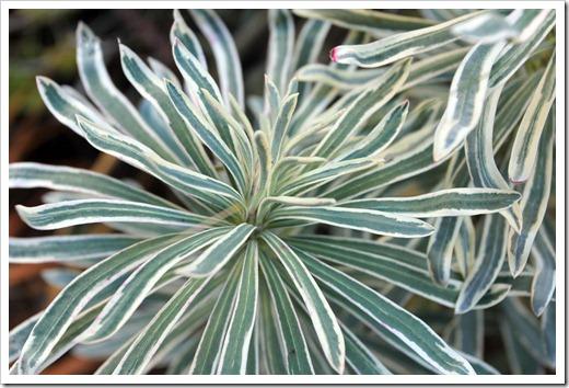 130110_Euphorbia-characias-Glacier-Blue_05