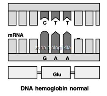 DNA hemoglobin normal