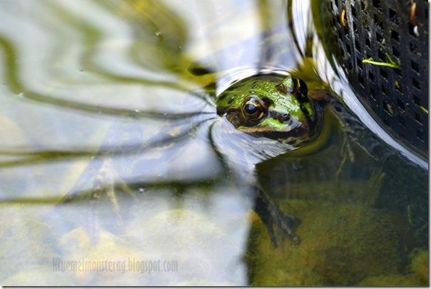 Mitbewohner im Teich {Frösche}
