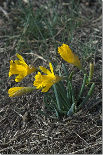 NarcissusEugeniae_4