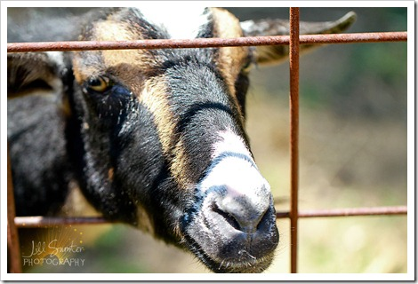 goats-5652