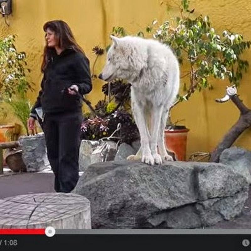 Λευκός λύκος