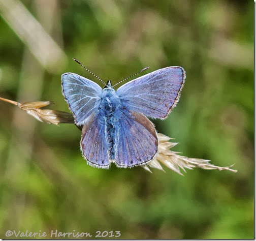 16-common-blue