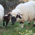 Schafe - Meine Walliser Schwarznasen