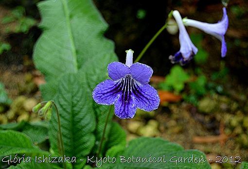 Glória Ishizaka -   Kyoto Botanical Garden 2012 - Streptocarpus Lindl.