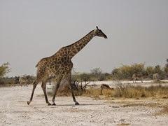 girafe du Cap