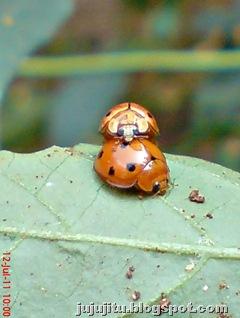 Variable Ladybird (Coelophora inaequalis) mating