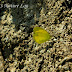 Pieridae%25252c%252520eurema%252520hecabe%25252c%252520common%252520grass%252520yellow