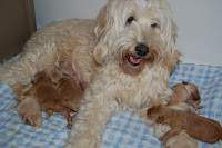 Gorgeous Labradoodles puppies