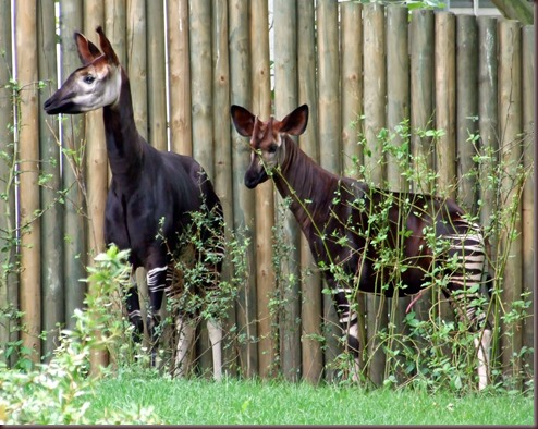 Amazing Animal Pictures Okapi (15)