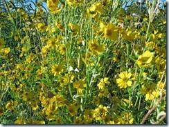 90 sun flowers (640x480)