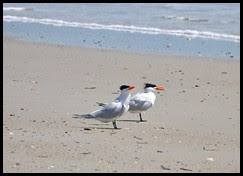 01a- Nature - Royal Terns