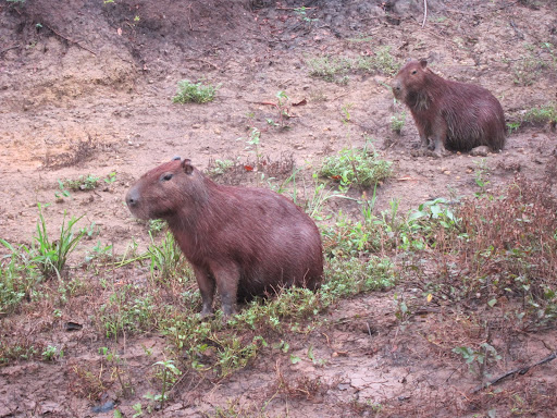 Capybaras - the world's largest rodent.