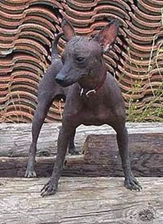 Amazing Pictures of Animals, Photo, Nature, Incredibel, Funny, Zoo, Dog, Mexican Hairless Dog, Xoloitzcuintle, Mammals, Alex (11)