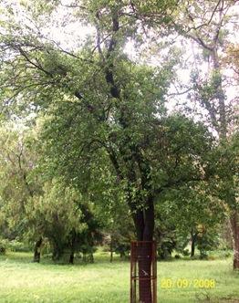 Santalum album Tree