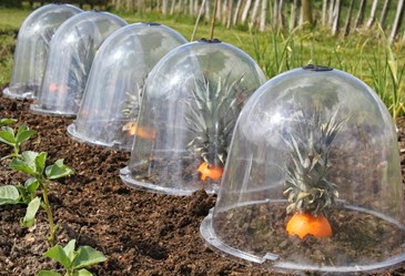 Pineoranges under Haxnicks bell cloches at Connerby Farm, Mere, Wilsthire