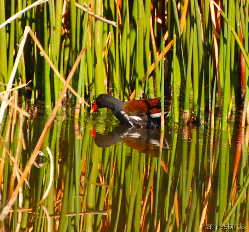 9. common gallinule-kab