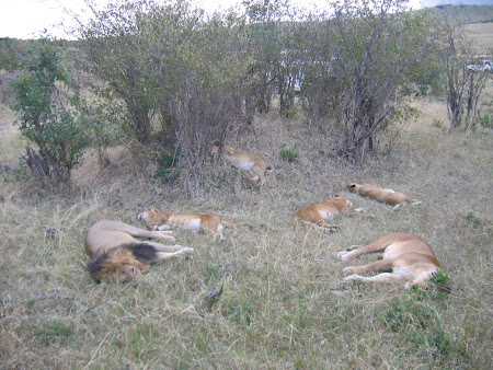 Safari Kenya: lei dormind in Masai Mara