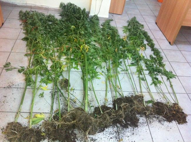 Συνελήφθη ημεδαπός για καλλιέργεια δενδρυλλίων κάνναβης στη Λευκάδα.