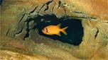 Indo-Pacifique poisson soldat