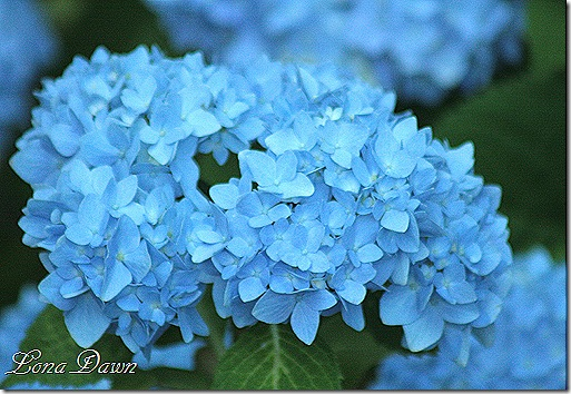 Hydrangea_Nikko2_June