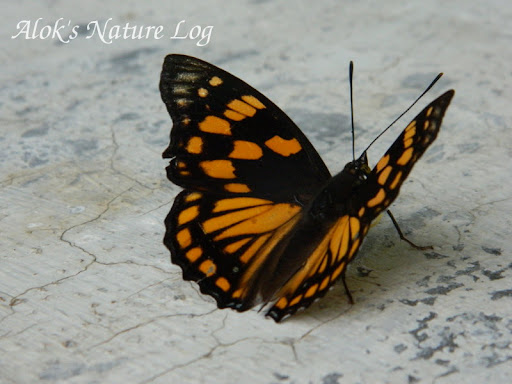 Nymphalidae%25252c%252520sephisa%252520dichroa%25252c%252520western%252520courtier