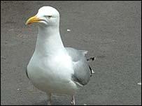 42371972 seagull203