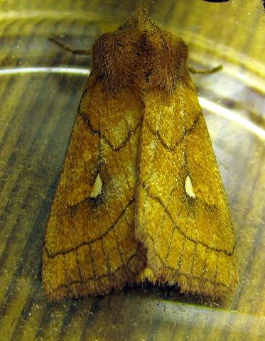 Brown-line Bright-eye Devil's Dingle Moth Night 080711 016
