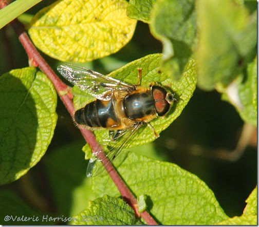 Eristalis-pertinax hoverfly