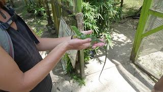 Banded Iguana; Secret Garden, Efate.
