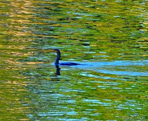 3. cormorant-kab