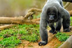 paris singe laineux