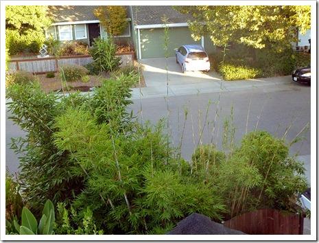110825_bambusas_frontyard