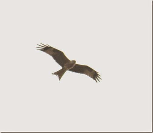 4-red-kite