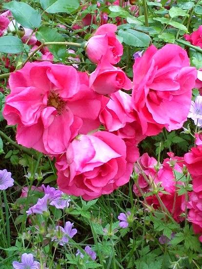 rose jardin publique paris